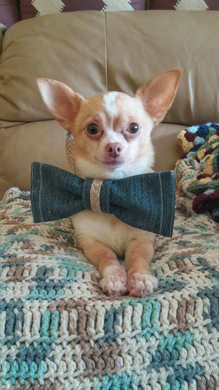 I made this denim bowtie for a dog participating in a denim country themed wedding!