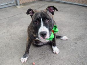 ●12•23•17 STILL THERE●SUPER URGENT 12•16•17●SWEET PEA – 16257 (ALT ID A1101141) BROOKLYN -   **RETURNED 12/16/17**  Care Center Location: Brooklyn  ,  ZIP Code From: 11217,  Intake Date: 12/16/17  Intake Type: Stray, Medical Behavior: Green, Age: 1 year, Sex: Spayed female, Weight: 57 lbs  DVM Intake Exam; Estimated age: ~1yr; Microchip noted on Intake? Yes ; History : Brought in by NYPD
