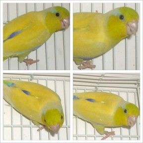 Parrotletbirds Parrotlet Breeder | American Yellow Parrotlets For Sale