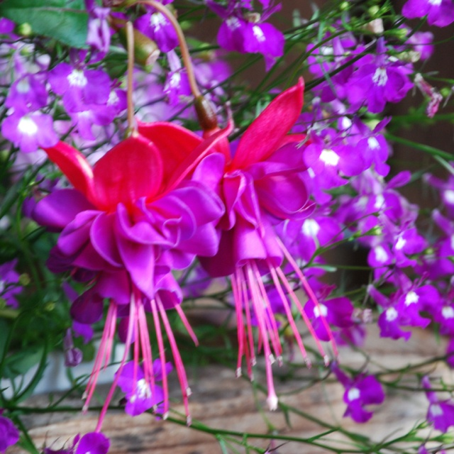 Popular Flowers In Canada: 342 Best Images About Flowers Fuchsia On Pinterest
