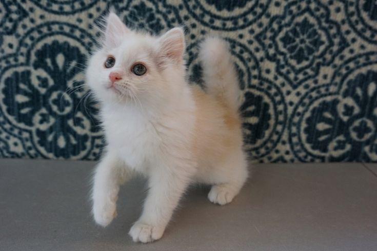 Ragamuffin Kittens for Sale | Buy Ragamuffin Kittens