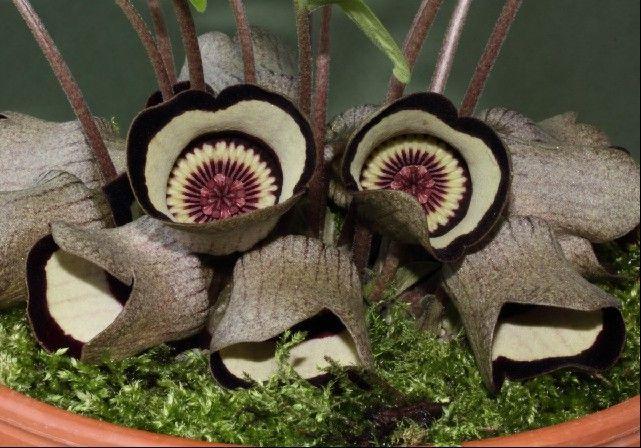 Asarum campaniforme flowers that look like mushrooms.