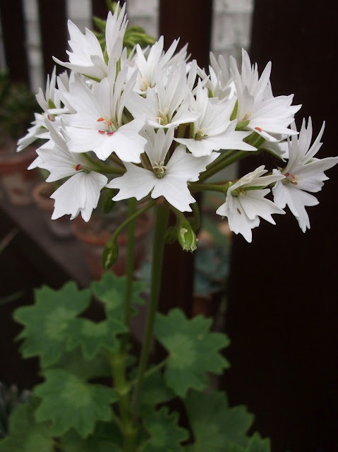 "Pelargonium X 'Arctic Star' (One of the ""Star Geraniums""!!"