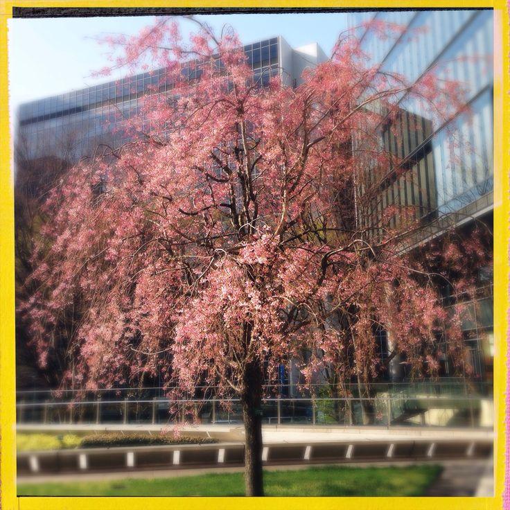 Sakura <3