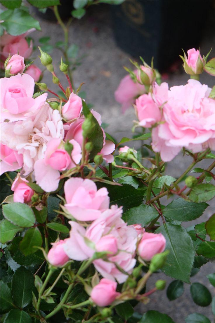 Rosa 'Bonica 82'
