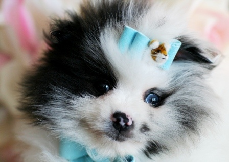 Teacup Pomeranians For Sale