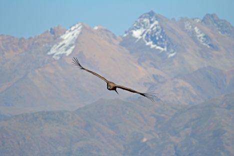 Kondor i Peru