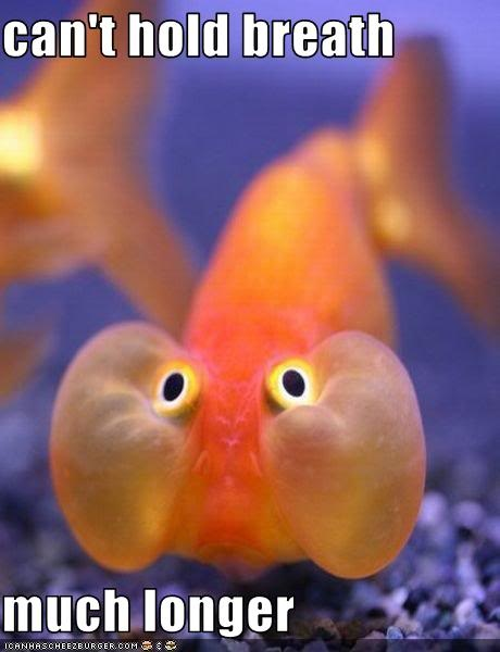 I used to have a fish just like this!! His name was Baggs, because it looked like he had bags on the side of his face