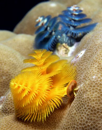 """Christmas tree worms,"" by Nick Hobgood, via Flickr. Gorgeous specimens in the photostream at the click-through."