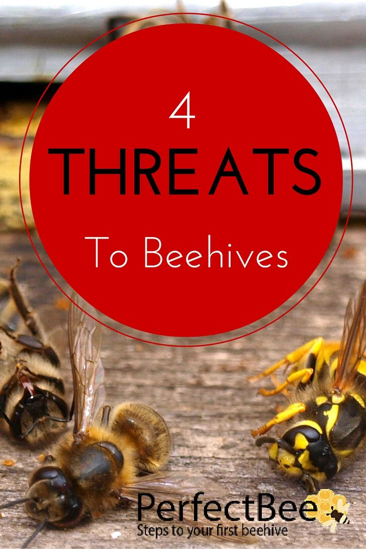 Super important for new beekeepers and experienced beekeepers alike: what are the 4 main hive threats? This is an awesome, well-researched article!