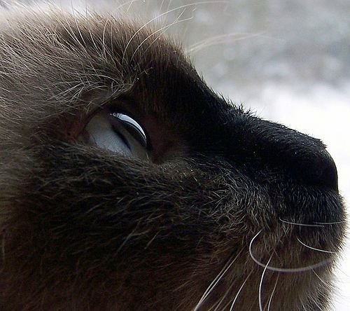 Siamese: Siam Cat, Siamese Cats, Pet Photography Tips, Cat Eyes, Animal Photography, Blue Cat, Colors Palettes, Photography Pets 1, Digital Photography