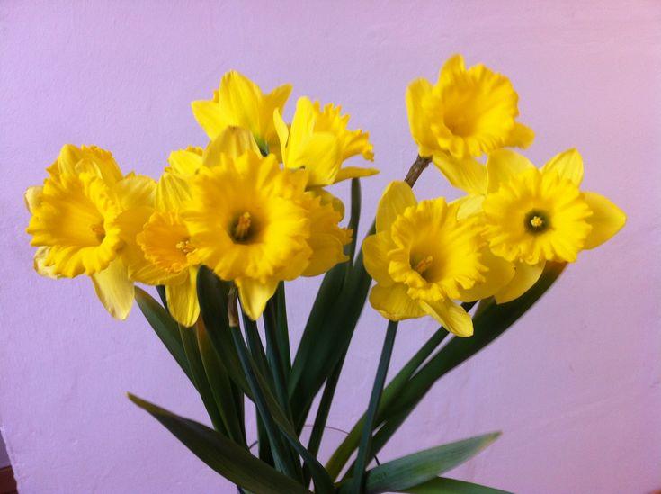 narcisos - envío de flores y plantas a toda la península - www.quedeflores.com - #narcisos #ramodenarcisos
