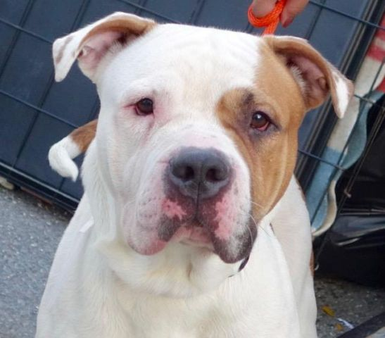 MILO - A1095540 - - Manhattan  Please Share:TO BE DESTROYED 11/10/16 **ON PUBLIC LIST!** -  Click for info & Current Status: http://nycdogs.urgentpodr.org/milo-a1095540/