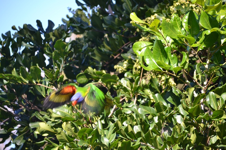 Caught a pic of this Lorikeet just before it flew from view. I'm not to fast on the shutter button, but I still like the blurred version ...