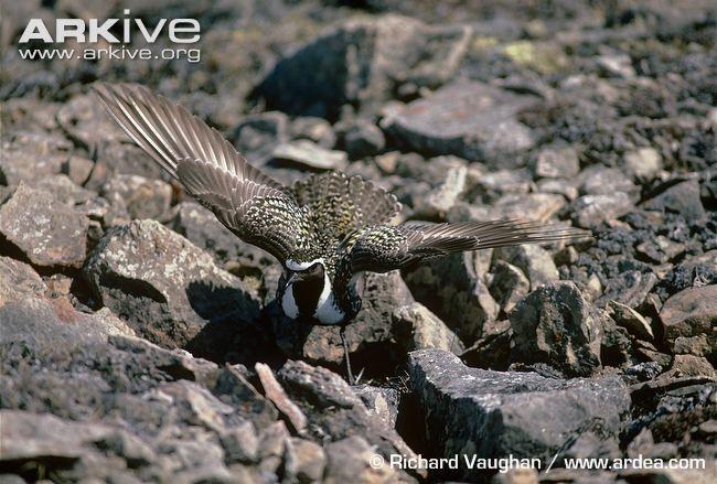 American golden plover photo - Pluvialis dominica - G109987 | ARKive