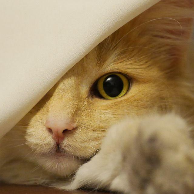 Norveç Orman Kedisi, Kedi, Amber, Yüz, Cat'S Eyes