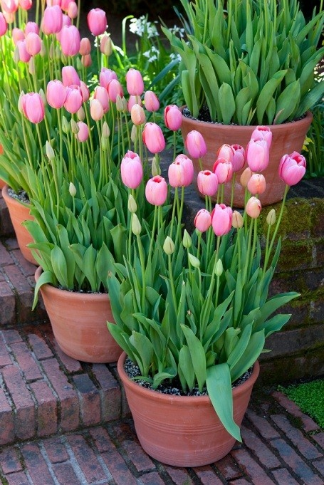 Tulips are one of my favorite flowers simple with such pretty color!