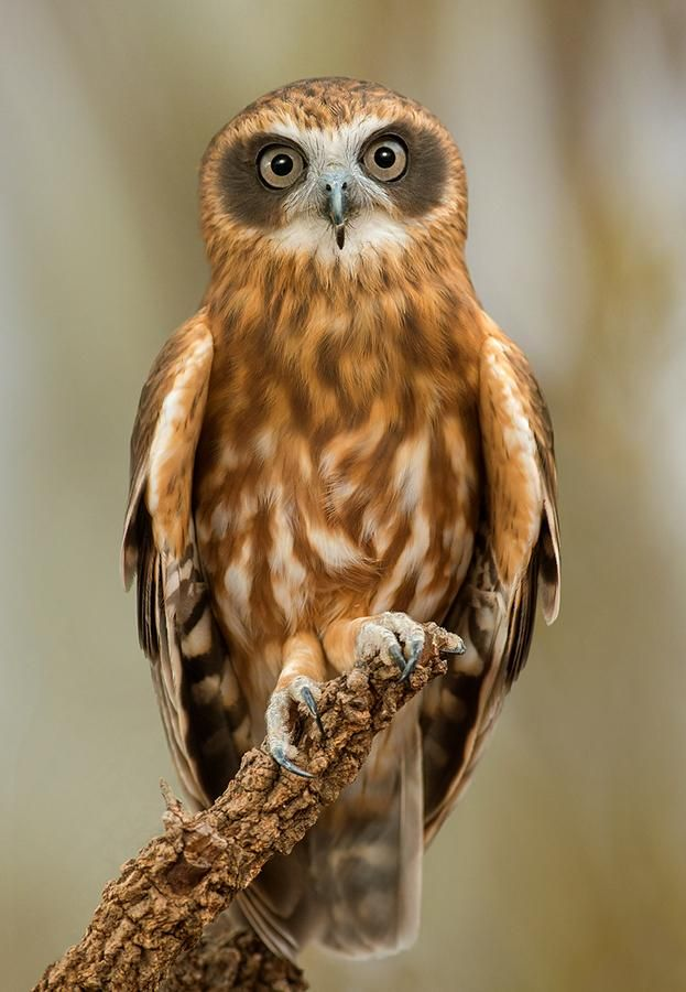 magicalnaturetour:  Gorgeous southern boobook /the smallest owl species in australia by greg oakley
