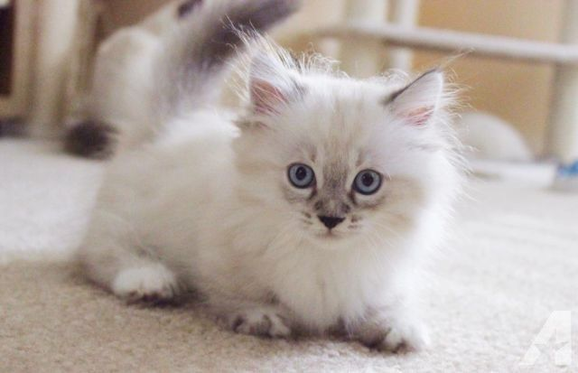 Munchkin kittens for sale for Sale in Memphis, Tennessee ...