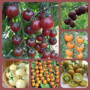 Не могу не поделиться хитростью, применяемой немецкими огородниками для сдерживания вытягивания рассады томатов в условиях недостаточной освещенности. Они кисточкой поглаживают верхушку побегов и листья, тем самым немного повреждая волоски. Растения тут же притормаживают рост и кустятся.  Также интересен опыт выращивания томатов в железных ведрах. Такую рассаду вообще не высаживают в грунт, и их не трогает фитофтора. По-видимому, железо сильно угнетает этот паразитический грибок.