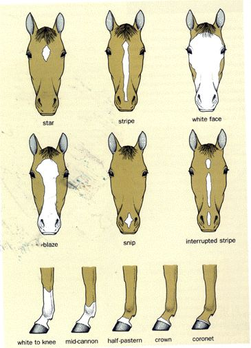 Horse face anatomy