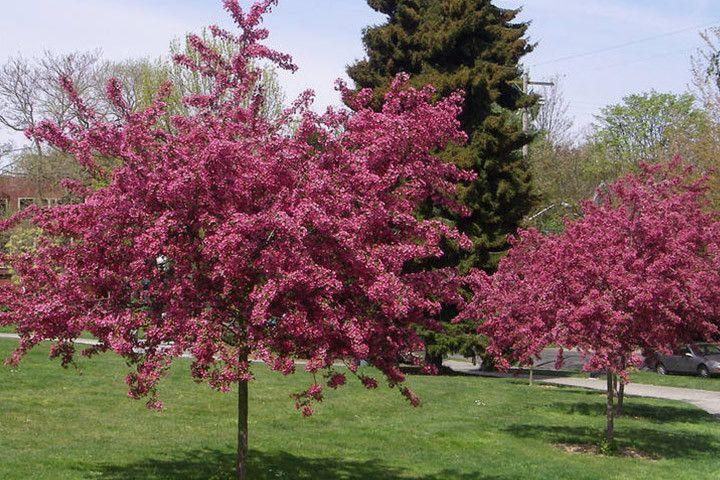Głóg dwuszyjkowy Paul's Scarlet szczepiony na pniu Crataegus - sadzonki, cena - sklep ogrodniczy, Drzewa liściaste i krzewy \ Głóg \ Głód dwuszyjkowy, krzewy ozdobne i drzewa