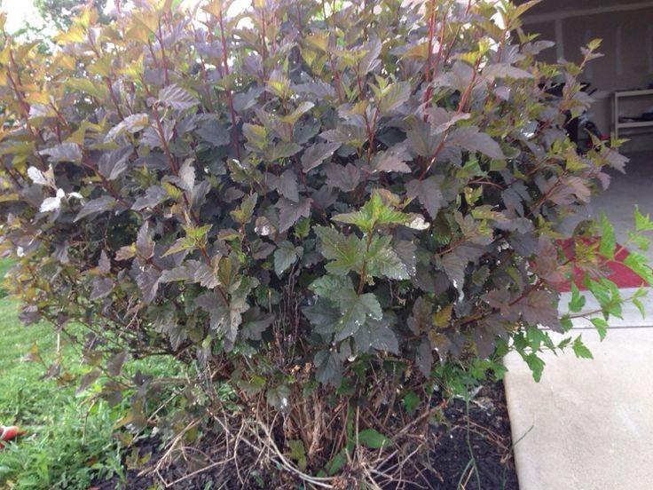 Ninebark (physocarpus capitatus): Large, loose-barked deciduous shrub characteristic of damp sites. White spring flowers reddish, columbine-like capsules. Native from Alaska to Idaho and California.
