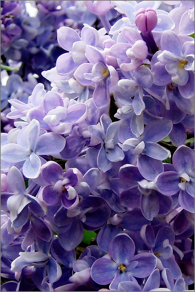 Lush Lilacs - So beautiful with a sweet fragrance.