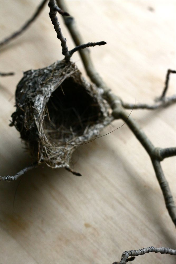 birds nest found in an Aspen tree.