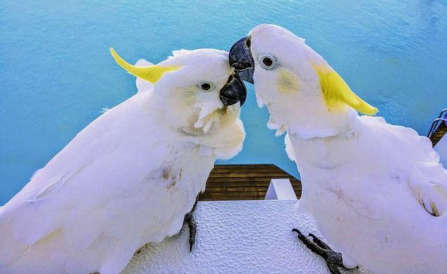 Solomon Island Parrot Health Personality Colors And Sounds Petguide Parrot Pet Birds Bird