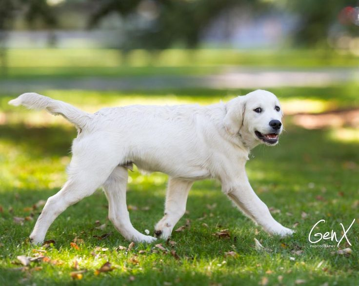 Kevin Golden Retriever