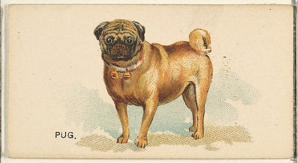 Issued by Goodwin & Company. Pug, from the Dogs of the World series for Old Judge Cigarettes, 1890. The Metropolitan Museum of Art, New York. The Jefferson R. Burdick Collection, Gift of Jefferson R. Burdick (63.350.214.163.11)