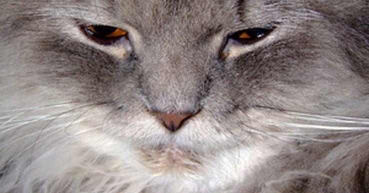 A melhor maneira de cortar nós no pelo de um gato. Os nós nos longos pelos de um gato podem se tornar um emaranhado que pode resultar ferimentos na pele do animal. Sendo assim, é fundamental estar sempre atento ao seu gato e remover possíveis nós o quanto antes. Os gatos perdem pelos constantemente e as raças de pelo longo não conseguem remover todos os pelos mortos sozinhos. Esses pelos se ...