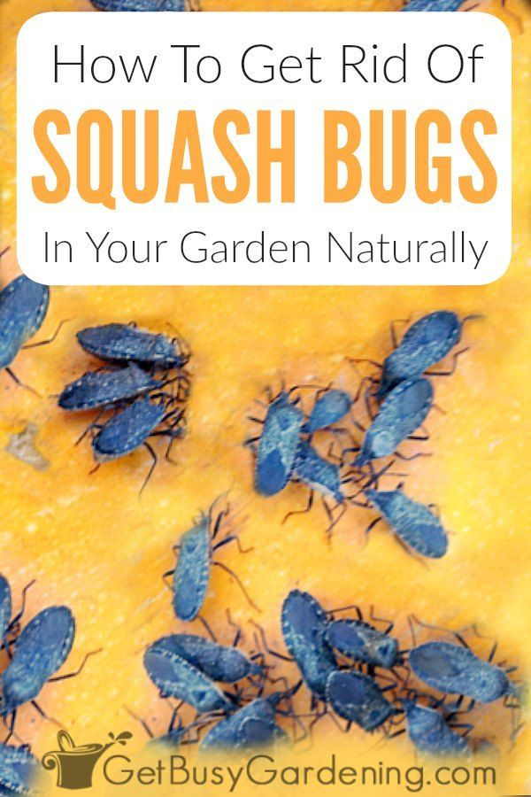 How To Get Rid Of Squash Bugs Naturally Squash Bugs Squash