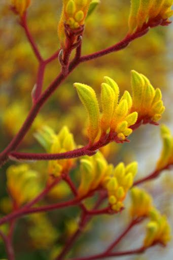 Kangaroo paw plant- Photo credit: Jessica Glover
