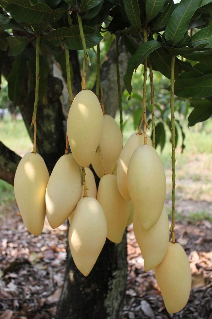 Golden Thai Mango Nam DOK Mai Tropica