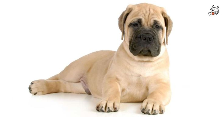 Did you know theese details about our  #Bullmastiff puppies? Click the Link or the image now and learn everything about them ;) http://puppies4all.com/bullmastiff-puppies-for-sale/ #dog #doglover #puppy #p4a#puppies #dogs #adorable #lovely #funny #loyal # http://puppies.host/Puppies/