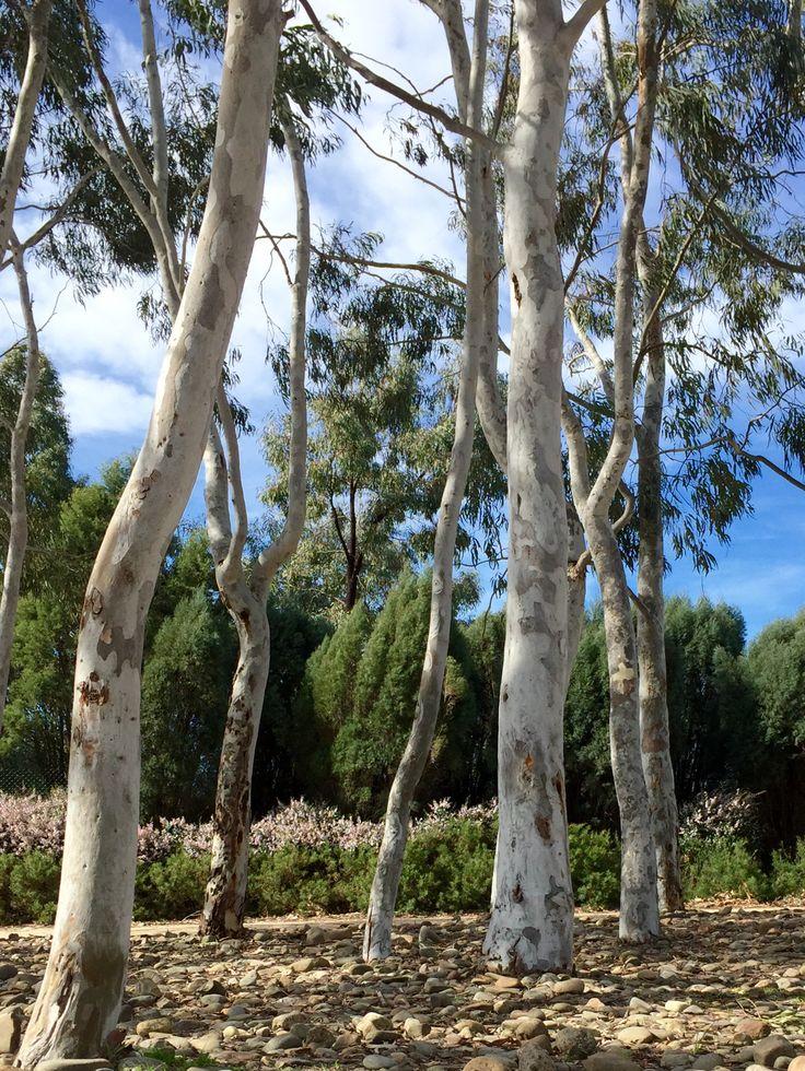 Brittle Gum - Eucalyptus mannifera subsp maculosa - Royal Botanical Gardens, Cranbourne, Australia