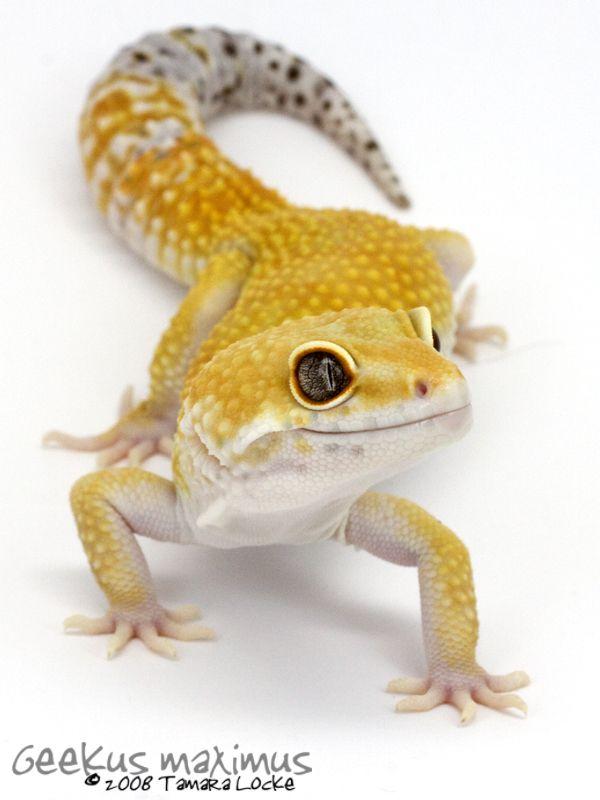 Leopard Gecko 2 by ~Geekusmaximus on deviantART