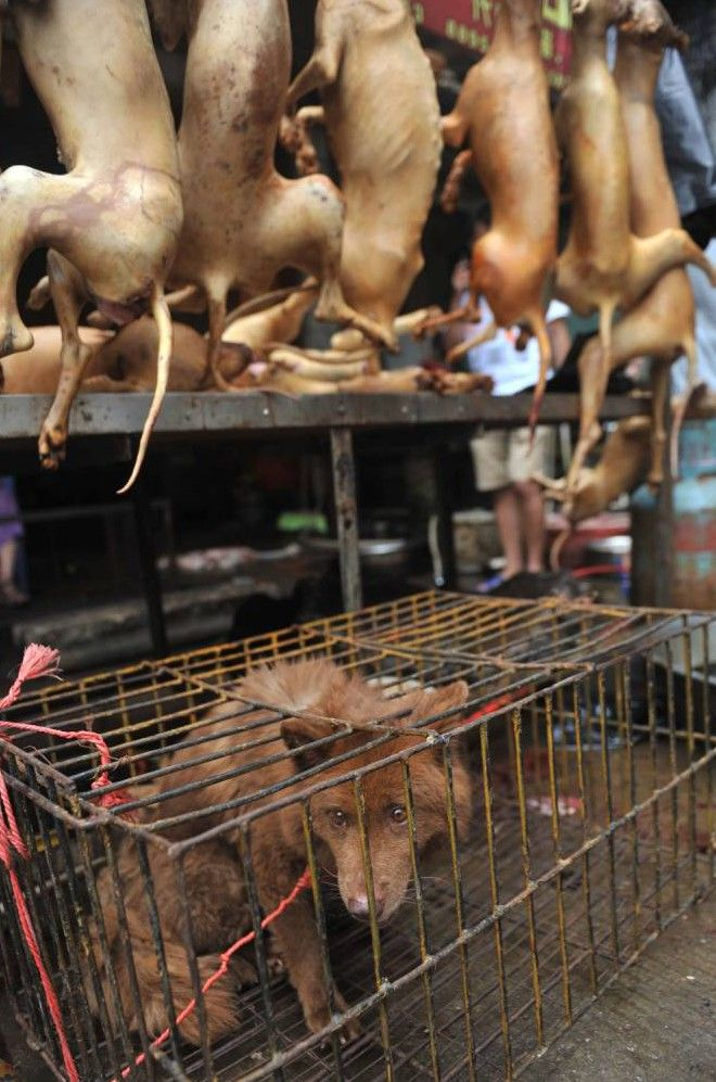 Mandatory Credit: Photo by Imaginechina/REX_Shutterstock (3820312c) A dog to be killed is caged under dead dogs to be eaten at a free market Dog meat festival in Yulin, China - 2012 Medical staff have been ordered not to eat dog meat amid a growing backlash against an upcoming dog meat festival in southwest China. Doctors and nurses were warned by health authorities not to eat dog meat in Yulin city in Guangxi province. Traditionally, locals in Yulin celebrate the summer solstice by…