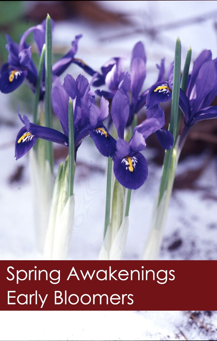 Spring Awakenings - Featuring Snowdrops, Iris Reticulata, and Winter Aconite  It's still winter across much of Canada, but west coast gardeners are starting to see signs of spring as the earliest of blooms appear. Check out these pics that prove spring is on the way!  #spring #snowdrops #winteraconite #iris #reticulata #irisreticulata #garden #accents #life #february #morning #season #love #summer #snow #springday #springsummer #springtime #crystalsnow