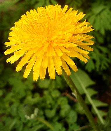Dandelion Perennial; spreads by seeds; height to 1 foot; found in U.S. (not southernmost TX, CA, AZ, and FL) and southern Canada; can flower at any time when temperatures permit. Dig out the entire taproot, hoe plants before they flower, and spread corn gluten in early spring to suppress seedlings. Harvest young leaves for tender green salad.