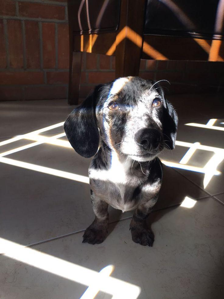 Puppy love ...  Behind the light  Dapple dachshund