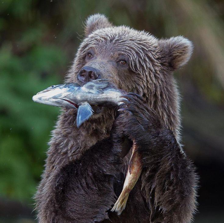 Chubby bears photos