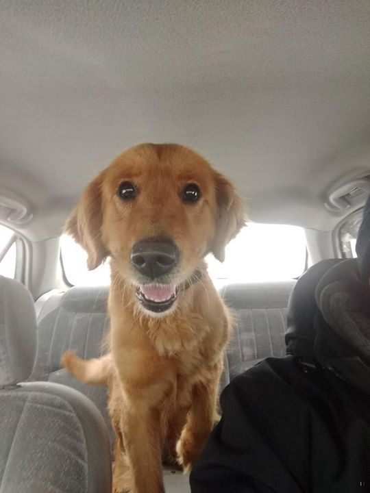 Is This Your Dog Mora Golden Retriever Female Date Found 04