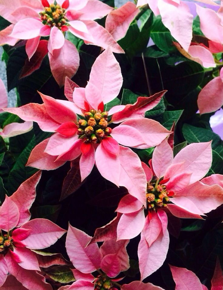 cyclamen flower care instructions
