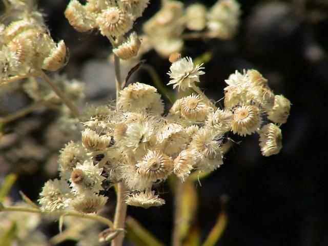 Dried wildflowers in situ. okanagan valley British columbia