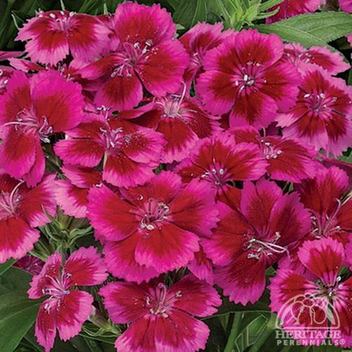 Dianthus barbatus Barbarini® Red-Rose Bicolor  /  Dwarf Sweet William Sweet William is an old-fashioned cottage garden plant that usually grows as a self seeding biennial.
