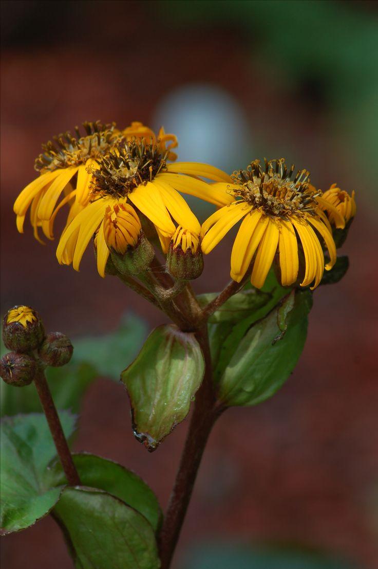 Ligularia dentata 'Marie-Britt Crawford' is a good perennial for shade: https://www.thespruce.com/leopard-plants-shade-plants-2131893