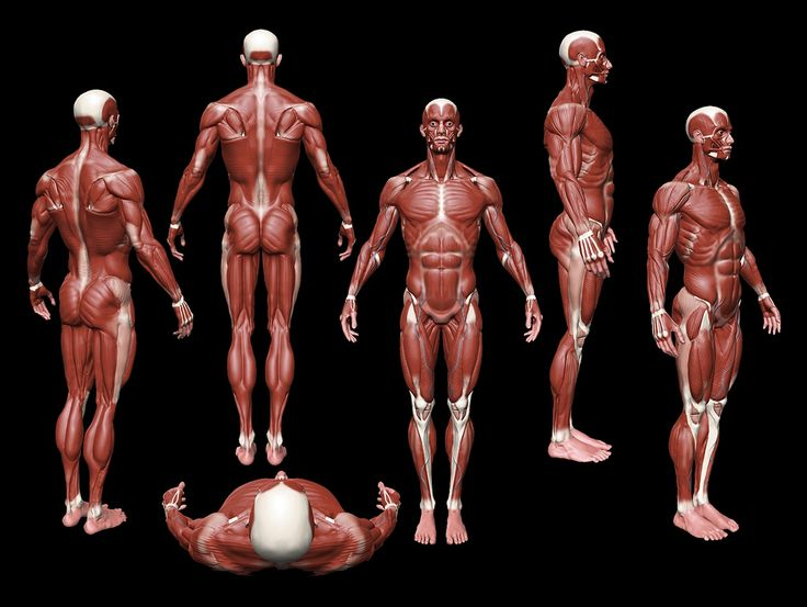 26 best anatomy reference images on pinterest, Muscles